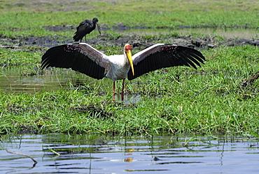 Yellow-billed Stork posture Fishing, Chobe Botswana