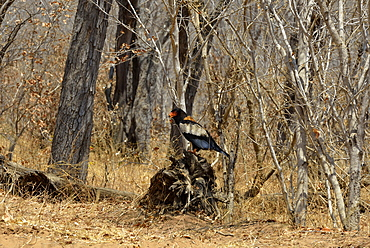 Bateleur at rest in forest, Chobe Botswana