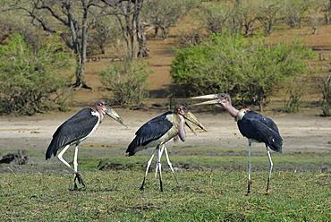 African marabouts on ground, Chobe Botswana
