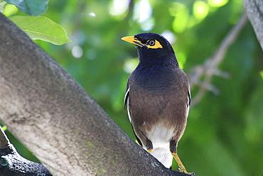 Common Myna on a branch, Maurice island