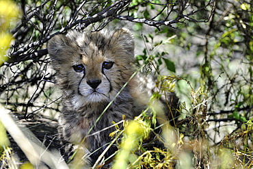 Young Cheetah hiding in the bush, Chobe Botswana