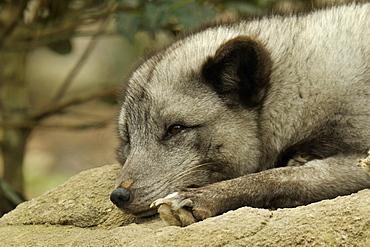 Portrait of Arctic Fox lying