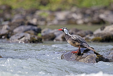 Torrent Duck male on rock, Torres del Paine Chile