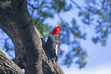 Magellanic Woodpecker on trunk, Torres del Paine Chile