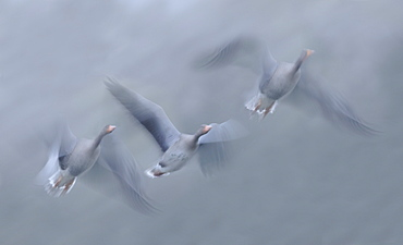 Greylag Geese in flight in autumn, Vosges France