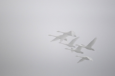 Whooper Swans in Flight, Sauer Delta Alsace France