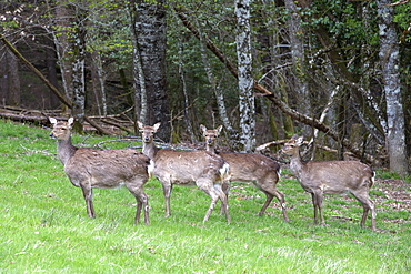 Female red deer in a clearing, France