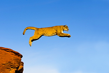 Puma jumping from one rock to another, Utah USA