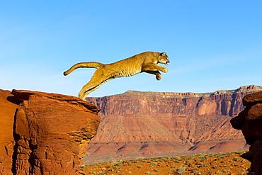 Puma jumping from a rock, Utah USA