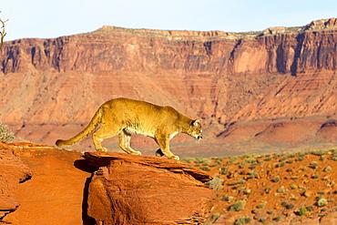 Puma on a rock, Utah USA