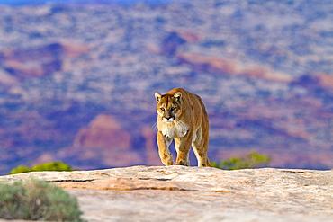 Puma walking on rock, Utah USA