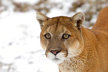 Portrait of Puma in the snow, Utah USA