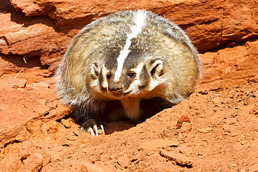 American Badger in front of a rock, Utah USA