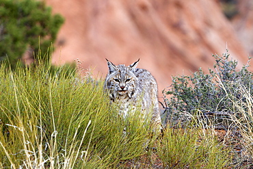 Bobcat in the bushes, Utah USA