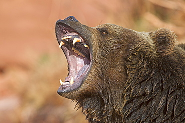 Portrait of shouting Grizzly, Utah USA