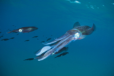 Bigfin reef Squids swimming under surface, Fiji