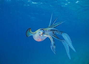 Bigfin reef Squid swimming under surface, Fiji