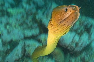 Yellow moray, Poor knights Island New Zealand