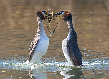 Great Crested Grebes displaying on the water, Switzerland