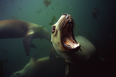 Hooker sealion under water -Campbell Island New Zealand