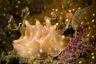 Nudibranch Halgerda carlsoni, Papua New Guinea