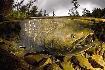 Quinnock salmon spawning in a mountain river, New Zealand
