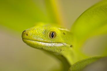 Portrait of Green Gecko- New Zealand