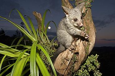 Juvenile Brushtail Possum on tree root, New Zealand