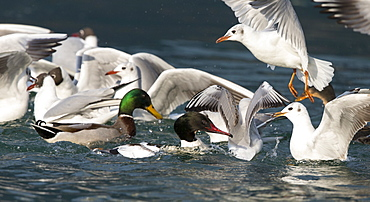 Goosander & Gulls fighting for food on the Lake leman