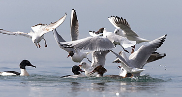 Goosanders & Gulls fighting for food on the Lake leman
