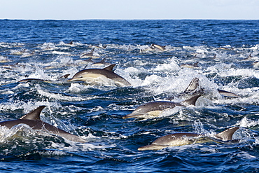 Long-beaked common dolphins on the surface, South Africa