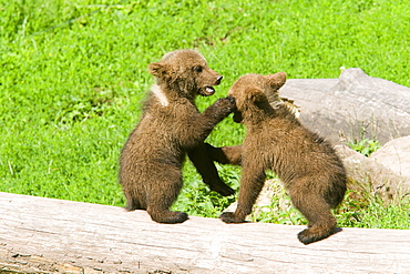 Young Grizzlies playing in the grass, Thuringian Germany