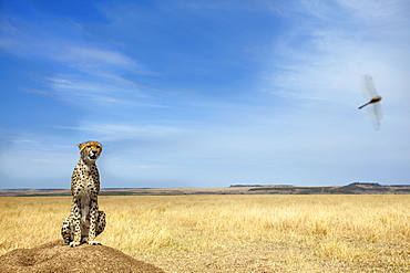 Cheetah sitting in savannah, East Africa