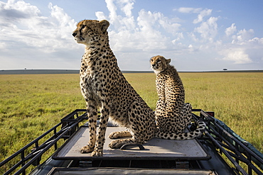 Cheetahs sitting on a vehicle vision, East Africa