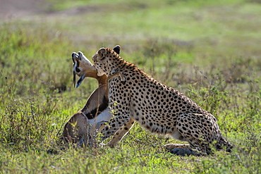 Cheetah stifling a Gazelle, East Africa