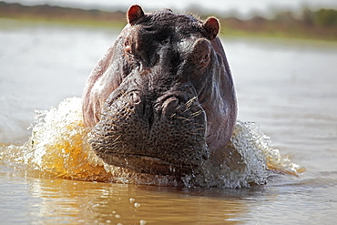 Portrait of Hippo in Water, East Africa