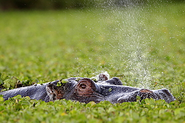 Hippo blowing in vegetation, East Africa