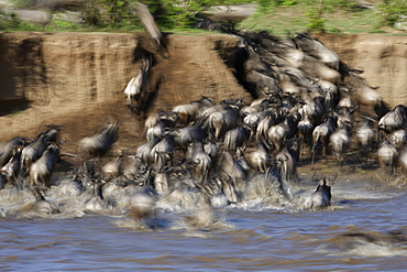 Blue wildebeest crossing a river, East Africa