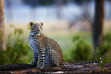 Young Leopard on a branch, East Africa