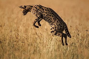 Serval hunting in tall grass, East Africa