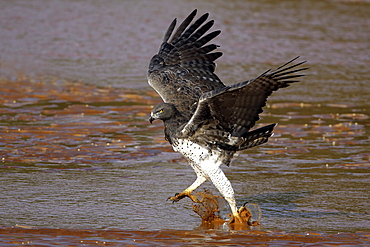 Martial Eagle in water, East Africa
