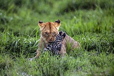 Lioness stifling a Zebra, East Africa