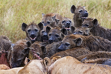Spotted hyenas and lions on carcass, East Africa