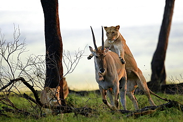 Lioness capturing a Cape Eland, East Africa