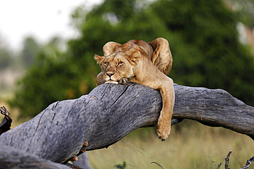 Lioness lying on a branch, East Africa