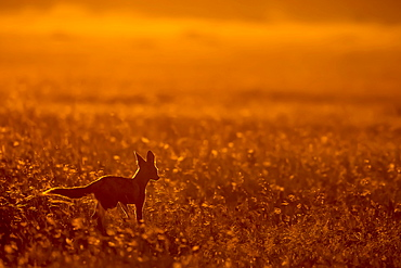 Black-backed jackal at dusk, East Africa