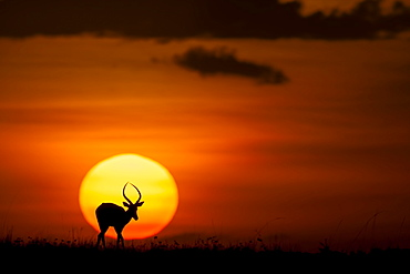 Impala in the plain at dusk, East Africa