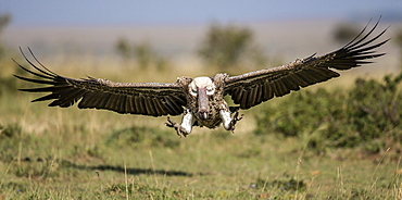 African White-backed Vulture in flight , East Africa