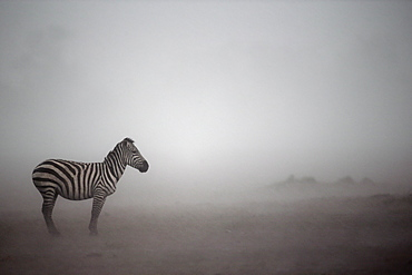 Grant's Zebra in the mist, East Africa