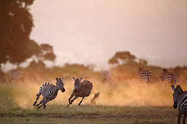 Grant's Zebras running at dusk, East Africa